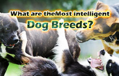 What are theMost Intelligent Dog Breeds?