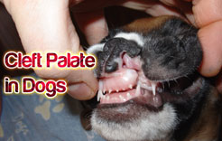 Cleft Palate in Dogs