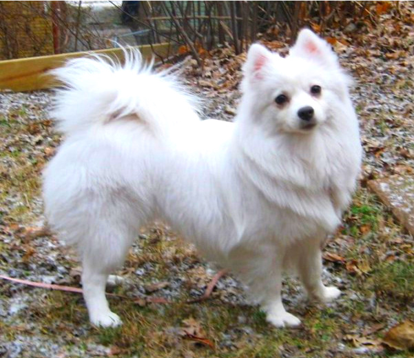 Brains and Beauty: The American Eskimo Dog