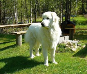 a beautiful Great Pyrenees