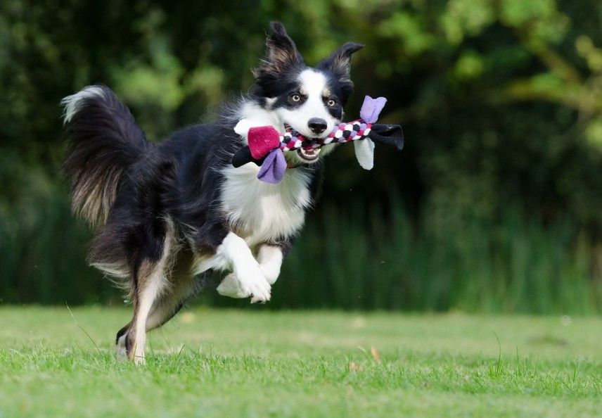 a playful Border Collie