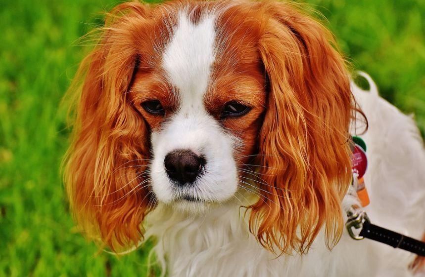 cute Cavalier King Charles dog