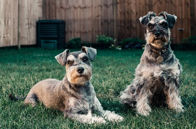 two Schnauzers outdoors