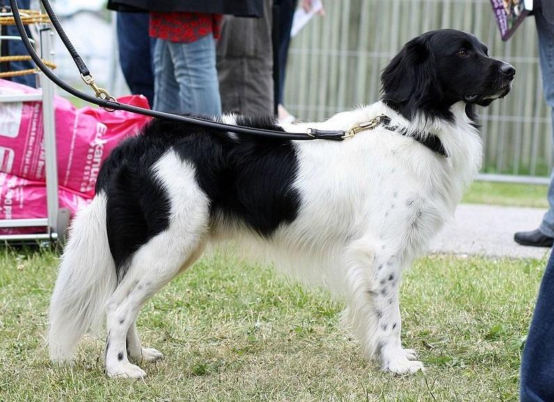 Stabyhoun - The Loving and Responsive Dog