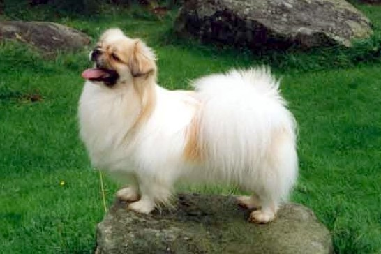 The Tibetan Spaniel flourishes in busy and socially-active homes
