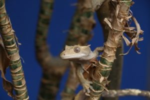 How to make sure that Your Crested Gecko is Happy