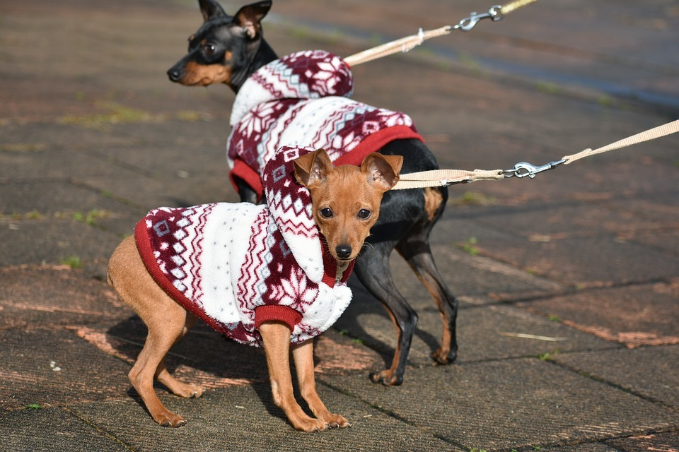small dogs with jackets